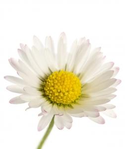Polo-flower